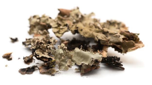 Wood Lichen (Stone Flower/Kalpasi)